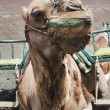 Camel in Timanfaya fire mountains in Lanzarote, Canary Islands — Stock fotografie