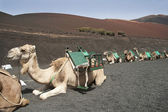 Camel in Timanfaya fire mountains in Lanzarote, Canary Islands — Stock Photo