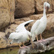 Two white pelicans preening on the branch — Stock Photo
