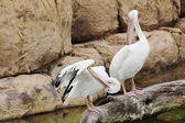 Two white pelicans preening on the rock — Photo