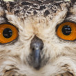 Stock Photo: Eyes of nowl closeup