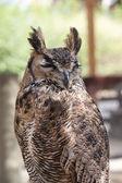 Baykuş dikey doğa — Stok fotoğraf