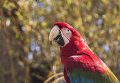Red macaw sitting on a branch — Stock Photo