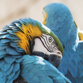 Preening Blue and Yellow Macaw  — Stock Photo