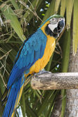 Blue and Yellow Macaw posing over a branch — Stock Photo