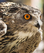 Owl portrait front in defensive position — Foto de Stock