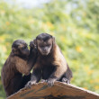 A pair of Tufted Capuchins, also known as Brown or Black-capped — Stock Photo #48049157