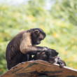 A pair of Tufted Capuchins, also known as Brown or Black-capped — Stock Photo #48049215