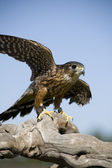 Red Shouldered Hawk — Stock Photo