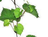 Grape leaves — Foto Stock