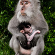 Wild monkey with baby — Stock Photo