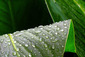 Green leaves and raindrops — Stock Photo