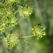 Fennel in garden — Stock Photo