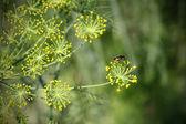 Fennel in garden — Stock Photo