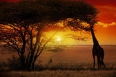 Africa Sunset — Stock Photo
