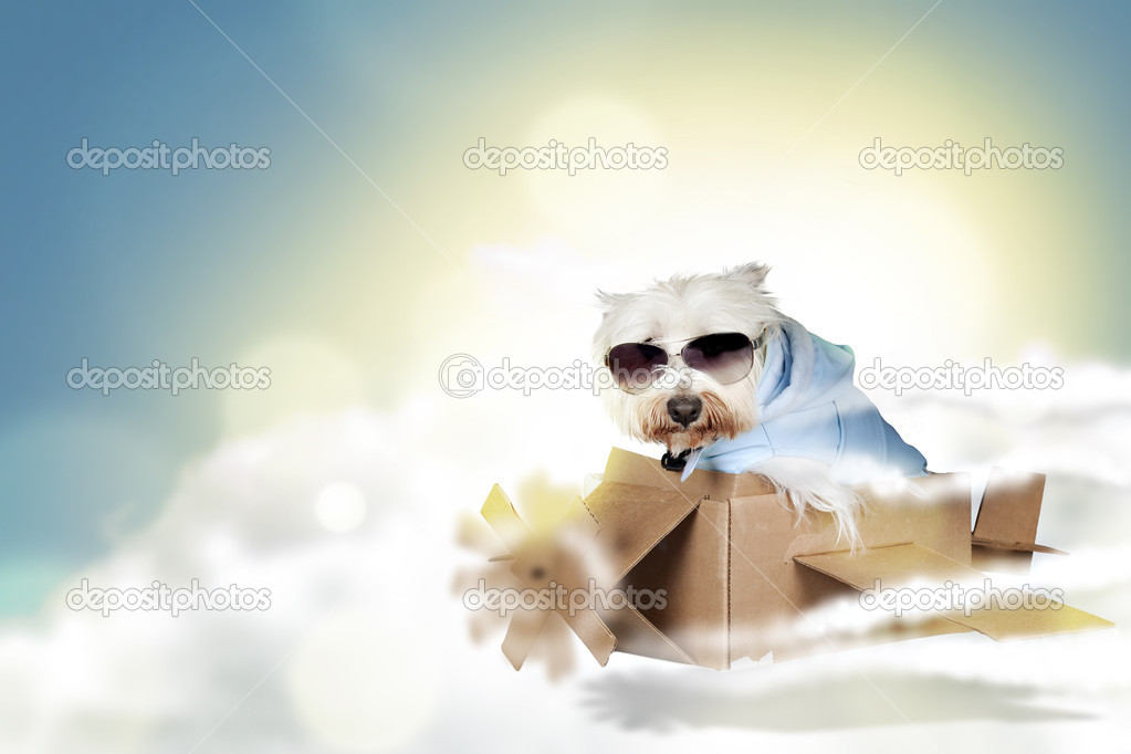 Funny westie dog flying on a paper plane stock photo for Small dogs on airplanes