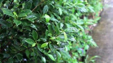 Raining on little leafs in the garden — Stock Video