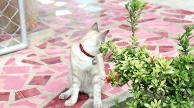 Cute Thai cat — Stok video