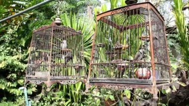 Red-whiskered Bulbul in birdcage at countryside — Stock Video