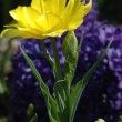 Yellow tulip — Stock Photo