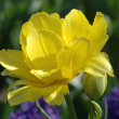 yellow tulip&quot — Stock Photo #34071739