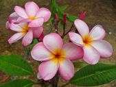 Frangipani flowers — Photo