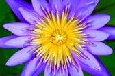 Beautiful blue lotus — Stock Photo