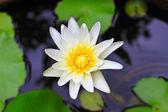 White lotus flower — Photo