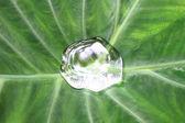Drop on colocasia leaf — Stock Photo