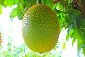 Gac fruit, Baby Jackfruit, Spiny Bitter Gourd, Sweet Grourd or C — Stock Photo