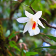 Wild orchids in forest of Thailand — Stock Photo
