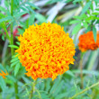 Marigold  flowers field — Stockfoto
