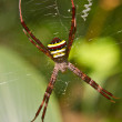 Multi-coloured Argiope Spider, beauty insect on web  — Стоковая фотография