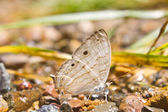 Butterflies are absorption minerals on the ground — Stock Photo