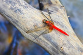 Red dragonfly on tree branch — Foto de Stock