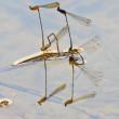 Stock Photo: Damselflies breeding on branch