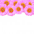 Pink Zinnia — Stock Photo