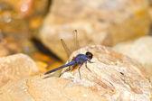 Dragonfly resting on stone — Stock Photo