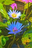 Close up lotus flower — Stock Photo