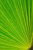 Sugar palm leaf — Stock Photo