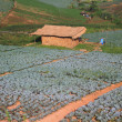 Stock Photo: Cabin in Cabbage agriculture fields