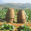 Baskets in Cabbage fields — Stock Photo