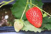 Organic strawberries field — Stock Photo