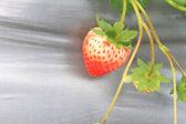 Organic strawberries field — Photo