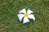 Flower from Thailand — Stockfoto
