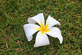 Flower from Thailand — Stock Photo