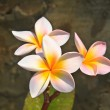 Stock Photo: Flower from Thailand
