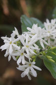 White Jasmine flowers in forest — Stock Photo