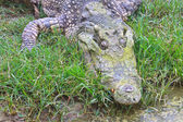 Crocodiles in a farm — Stock Photo