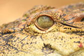 Close up of the Crocodile eye — Stock Photo